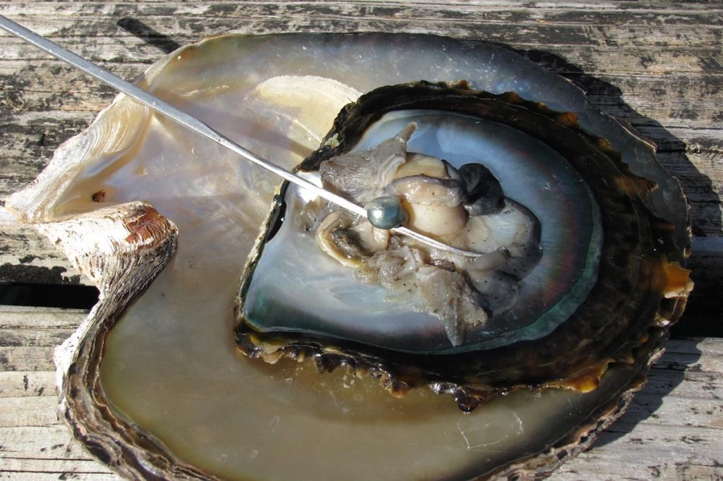 Черная жемчужина в моллюске