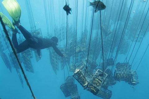 Выращивание морского жемчуга